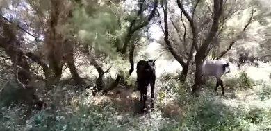 Photo of Este es el vídeo en el que PACMA denuncia el maltrato animal que sufren unos caballos en Sanlúcar la Mayor