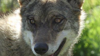 Photo of Un SOS para recuperar al lobo ibérico «extinguido» en Andalucía