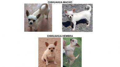 Photo of Robos de perros en el Aljarafe: Cuatro perros en Pilas en una noche