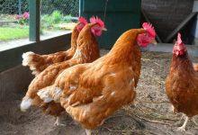 Photo of La Consejería de Agricultura alerta de un «riesgo alto» por gripe aviar en el Aljarafe