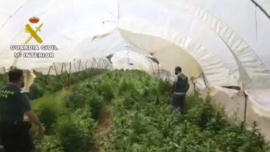 Photo of Desmanteladas diecisiete plantaciones de Marihuana en la provincia de Sevilla