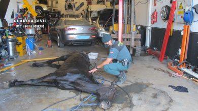 Photo of La Guardia Civil investiga a una persona que mantenía un caballo en malas condiciones en un taller clandestino en Salteras